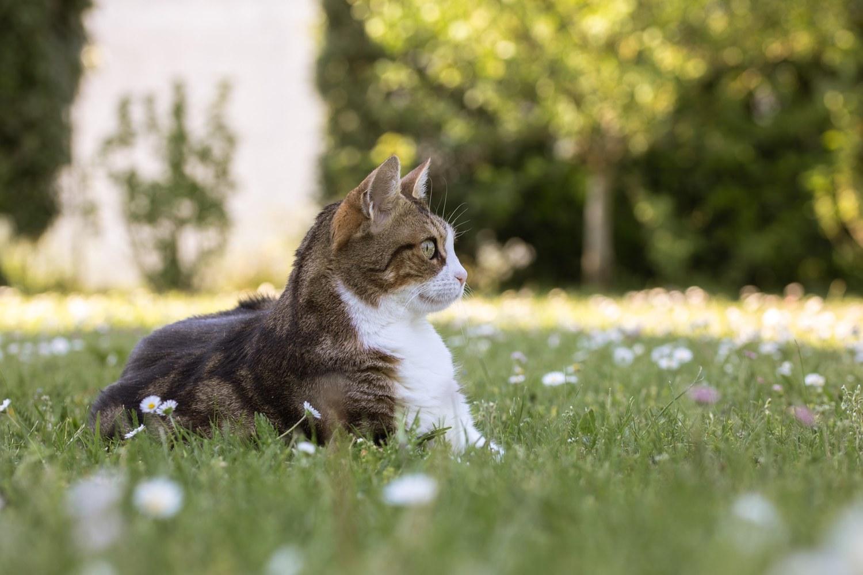 Chat brun et blanc dans un jardin