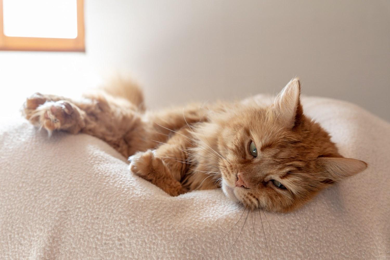 Chat marron allongé sur un pouf