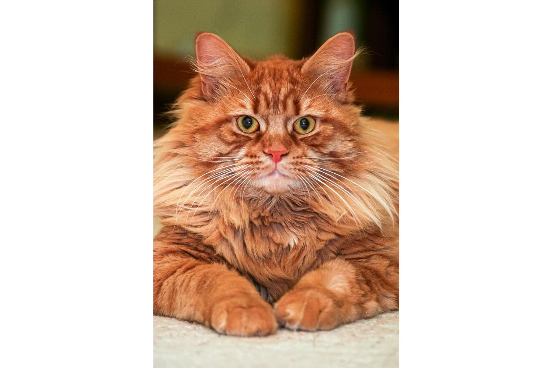 Chat marron à poil long regardant de face
