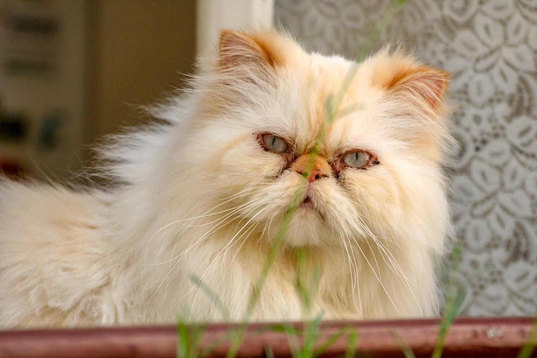 Chat persann blanc à une fenêtre