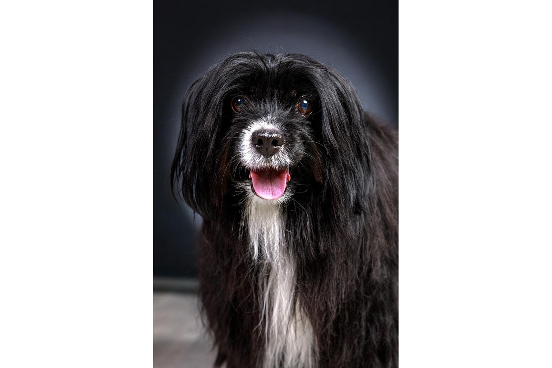 Portrait d'un chien noir et blanc de face