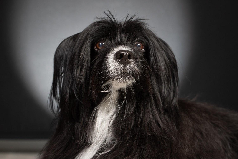 Portrait d'un chien noir et blanc