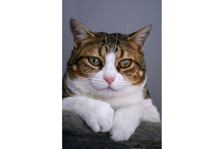 Portrait d'un chat brun et blanc