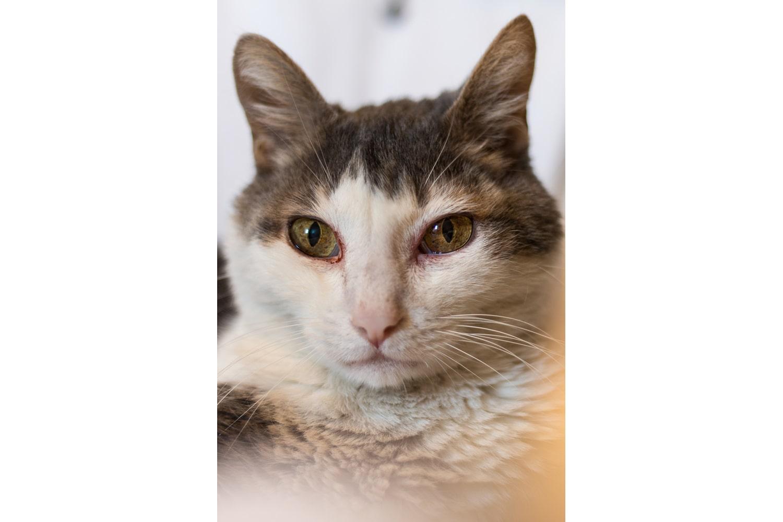 Portrait d'un chat gris et blanc